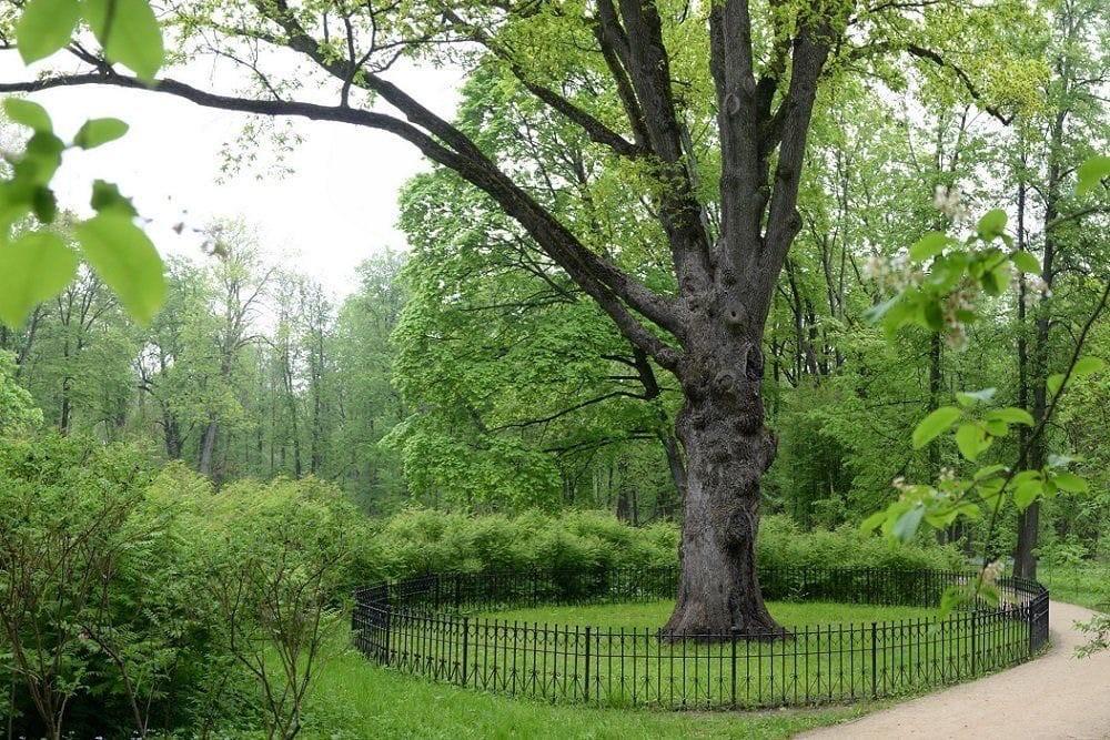 Тургеневский дуб номинирован к участию во Всероссийском конкурсе «Российское дерево года – 2021»